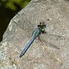 Erythemis simplicicollis male, Erythème des étangs, Eastern pondhawk,  Libellulidae<br /> 5173, Lac Boivin,Granby, Quebec, 9 juillet 2013