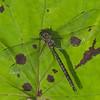 Aeshna canadensis femelle, Aeschne du Canada, Canada darner<br />  Aeshnidae ,Darners<br /> 9840, St-Hugues, Quebec, 8 septembre 2013