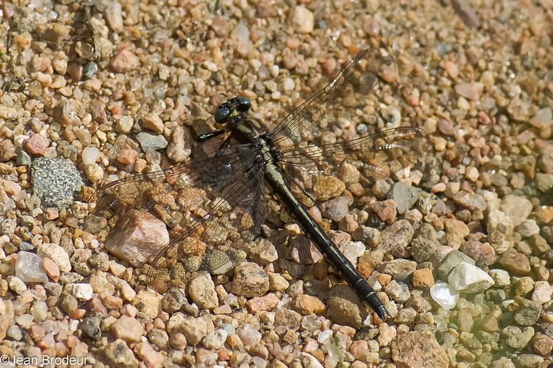 Gomphus lividus femelle, Gomphe livide, Ashy clubtail<br /> 6581, Pourvoirie des Laurentides, Lac St-Jean, Quebec, 21 juillet 2013
