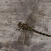 Cordulegaster diastatops male, Cordulégastre aux yeux séparés, Delta-spotted Spiketail,  Cordulegastridae<br /> 4723, Granby, Quebec, 26 mai 2015
