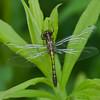 Leucorrhinia hudsonica femelle, Leucorrhine hudsonienne ,  Libellulidae<br /> 9589, St-Hugues , Quebec, été 2009