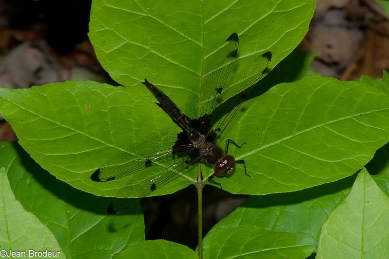 Epitheca princeps male juvenile, Epitheque princiere, Prince Baskettail, Corduliidae<br /> 5223, Granby, Quebec, 6  juin 2016