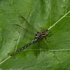 Basiaeshna janata male,  Aeschne printanière, Springtime Darner, Aeshnidae<br /> 4141, St-Hyacinthe, Quebec, 26  mai 2016