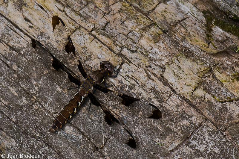 Plathemis lidia femelle, Libellule lydienne , Common Whitetail<br /> 9521, St-Hugues , Quebec , été 2009