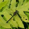 Somatochlora williamsoni male, Coudulia de Williamson, Williamson's Emerald, Corduliidae<br /> 7988, St-Hugues, Quebec, 2 juilllet 2014