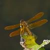 Perithemis tenera male,Périthème délicate, Eastern amberwing  ,  Libellulidae<br /> 5962, Lac Boivin, Granby, Quebec, 16 juillet 2013