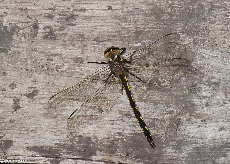 Cordulegaster diastatops male, Cordulégastre aux yeux séparés, Delta-spotted Spiketail,  Cordulegastridae<br /> 4724, Granby, Quebec, 26 mai 2015