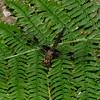 Epitheca princeps femelle, Epitheque princiere, Prince Baskettail, Corduliidae<br /> 5384, Granby, Quebec, 7  juin 2016