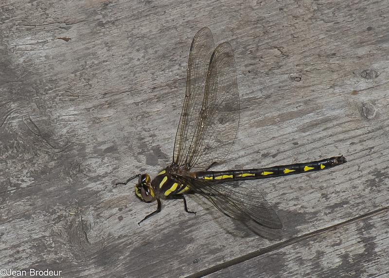 Cordulegaster diastatops male, Cordulégastre aux yeux séparés, Delta-spotted Spiketail,  Cordulegastridae<br /> 4722, Granby, Quebec, 26 mai 2015