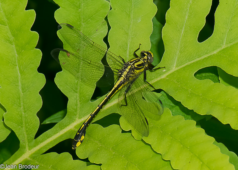 Gomphus fraternus femelle, Gomphe fraternel, Midland Clubtail, Gomphidae ,Clubtails<br /> 4509, St-Hugues, Quebec, 9 juin 2014