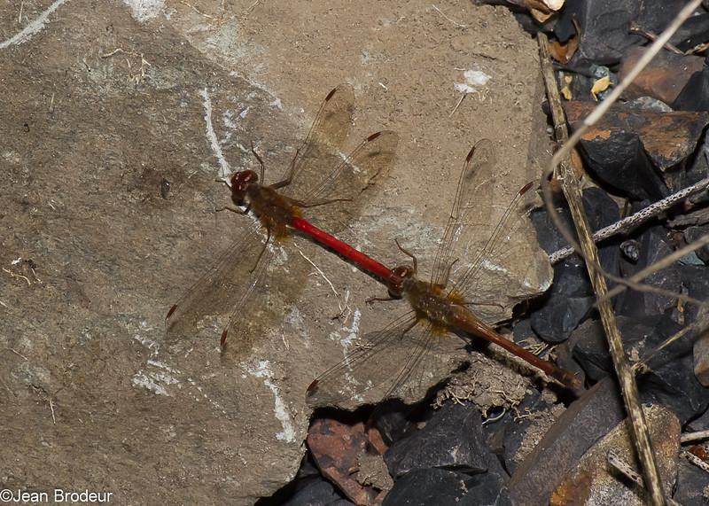 Sympetrum vicinum, Sympétrum tardif, Autumn Meadowhawk, Libellulidae<br /> 8777, Granby, Quebec, 24 septembre 2015