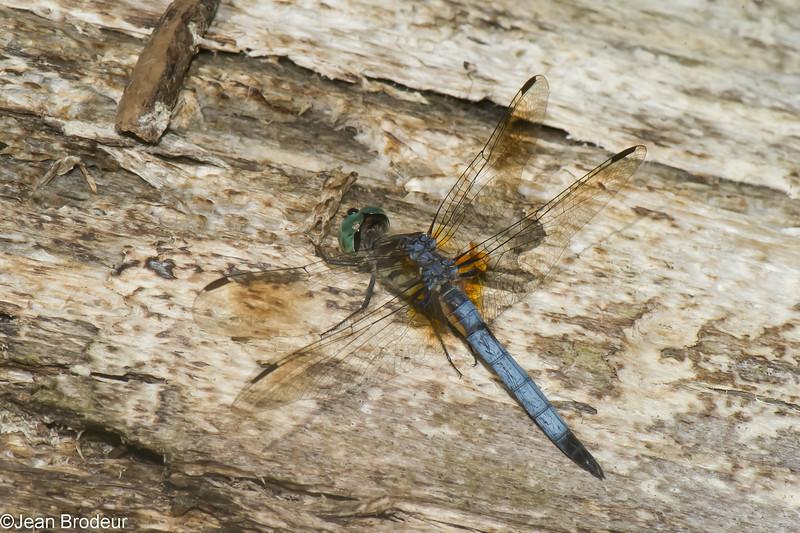 Pachydiplax longipennis male, Pachydiplax bleu,  Blue dasher<br /> 8672, St-Hugues, Quebec, 24 juillet 2014