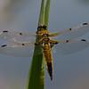 Libellula quadrimaculata femelle, Quadrimaculée , Four-spotted skimmer,  Libellulidae <br /> 8928, St-Hugues , Quebec , été 2009
