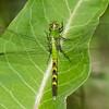Erythemis simplicicollis male immature, Erythème des étangs, Eastern pondhawk,  Libellulidae<br /> 2741, Lac Boivin,Granby, Quebec, 15 juin 2013
