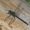 Arigomphus cornutus male, Gomphe cornu, Horned clubtail, Gomphidae<br /> 2435, St-Hugues ,Quebec,10 juin 2013