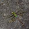 Anax junius femelle, , Anax précoce , Common Green Darner, Aeshnidae<br /> 4764, Granby, Quebec, 31 mai 2016