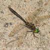 Cordulia shurtleffii male, Cordulie de Shurtleffer, American emerald ,  Corduliidae , Emeralds<br /> 6543, Pourvoirie des Laurentides, Lac St-Jean, Quebec, 21 juillet 2013