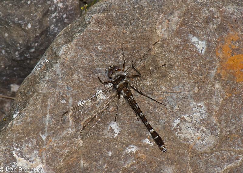 Didymops transversa male,  Macromie brune,  Stream Cruiser, Macromiidae, Anisoptera<br /> 4689, Granby, Quebec, 31 mai 2016