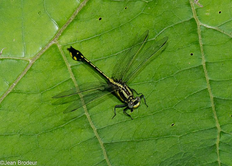 Gomphus fraternus male, Gomphe fraternel, Midland clubtail, Gomphidae<br /> 5970, Granby, Quebec, 16  juin 2016