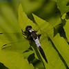 Ladona julia male, La Julienne , Chalk-fronted Corporal<br /> 8997, St-Hugues , Quebec, 17 juin 2009