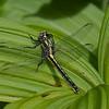 Gomphus descriptus femelle, Gomphe descriptif , (Harpoon Clubtail), <br /> 197, St-Hugues , Quebec , 2 juin 2009