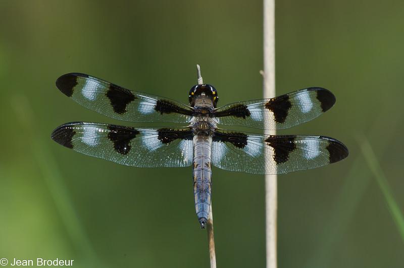 Libellula pulchella male ,Libellule gracieuse , Twelve-spotted skimmer,  Libellulidae <br /> 8584, St-Hugues, Québec, 6 juillet 2010