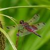 Celithemis elisa male, Célithème indienne, Calico pennant, Libellulidae<br /> 4988, Lac Boivin ,Granby, Quebec, 7 juillet 2013