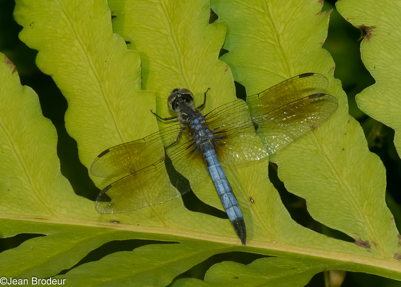 Pachydiplax longipennis male, Le pachydiplax, Blue Dasher,  Libellulidae<br /> 8774, St-Hugues, Quebec, 25 juillet 2014
