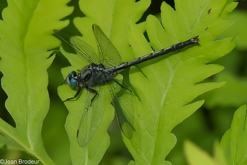 Arigomphus cornutus male, Gomphe cornu, Horned clubtail, Gomphidae<br /> 2319, St-Hugues ,Quebec,9 juin 2013