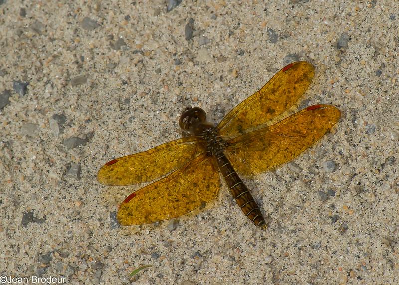 Perithemis tenera male, Périthème délicate, Eastern amberwing<br /> 8080, Sabliere, St-Lazare, Quebec, 12 juillet 2014