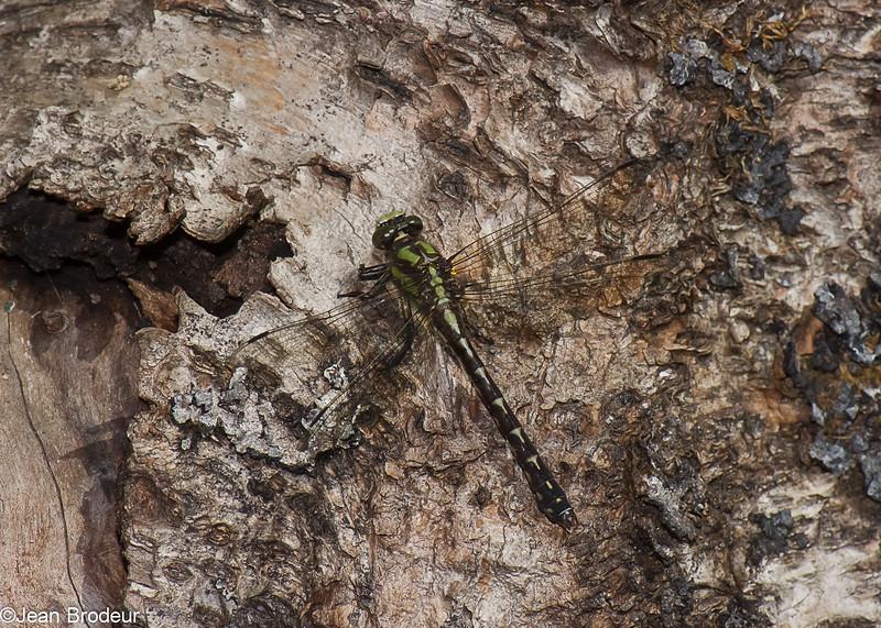 Ophiogomphus colubrinus, Ophiogomphe boréal, Boreal Snaketail,  Gomphidae<br /> 7896,  Parc national des Monts-Valin, Saguenay - Lac-Saint-Jean,  22 aout 2015