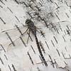 Aeshna eremita male, Aschne porte-crosses, Lake darner <br /> 6717(6717.1), Pourvoirie des Laurentides, Lac St-Jean, Quebec, 21 juillet 2013