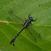 Gomphus fraternus male,  Gomphe fraternel, Midland clubtail, Gomphidae<br /> 7212, Contrecoeur, Quebec, 2 juillet 2016