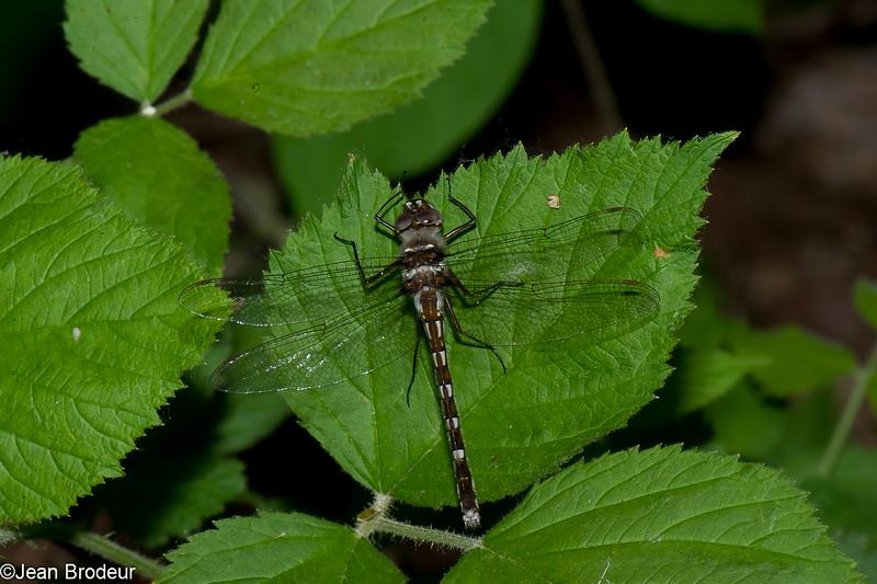 Didymops transversa femelle, Macromie brune,  Stream Cruiser, Macromiidae<br /> 4832, Granby, Quebec, 31 mai 2016
