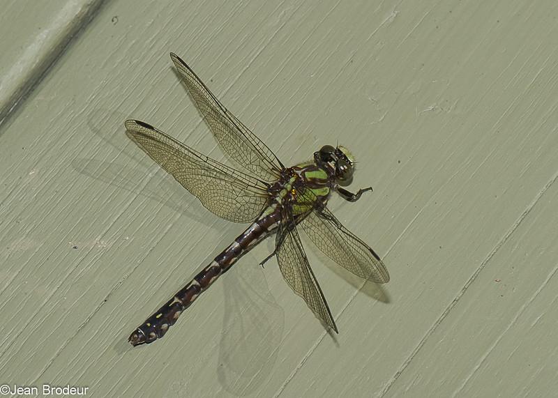 Ophiogomphus colubrinus, Ophiogomphe boréal, Boreal Snaketail,  Gomphidae<br /> 7899, Parc national des Monts-Valin, Saguenay - Lac-Saint-Jean, 22 aout 2015