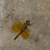 Sympetrum semicinctum femelle, Sympétrum semi-ambré, Band-winged Meadowhawk, Libellulidae<br /> 7347, Bromont, Quebec, 2 aout 2015