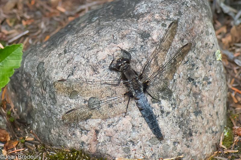 Ladona julia femelle, Julienne, Chalk-fronted corporal<br /> 6547, Pourvoirie des Laurentides, Lac St-Jean, Quebec, 21 juillet 2013