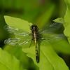 Leucorrhinia hudsonica femelle, Leucorrhine hudsonienne, Hudsonian whiteface,  Libellulidae <br /> 1982, St-Hugues, Quebec, 31 mai 2013