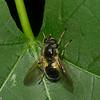 Blera confusa femelle, Confusing Wood Fly, Milesiini, Eristalinae, Syrphidae<br /> 4786, Parc Les Salines, St-Hyacinthe, Quebec,  29 mai 2015