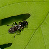 Chalcosyrphus nemorum, Dusky-banded Forest Fly, Xylotina, Eristalinae, Syrphidae<br /> 4087, St-Hugues, Quebec, 26  mai 2016