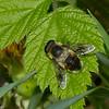 Eristalis anthophorina male, Orange-spotted Drone Fly, Eoseristalis, Eristalinae, Syrphidae<br /> 4427, Granby, Quebec, 14 mai 2015