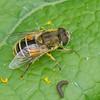 Eristalis arbustorum femelle, Syrphidae, Eristalinae<br /> 0567, St-Hyacinthe, Quebec, 23 septembre 2013