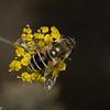 Eristalis arbustorum femelle, European Drone Fly,  Eoseristalis, Eristalinae, Syrphidae<br /> 8636, Jardin Botanique, Montreal, Quebec, 18 septembre 2015