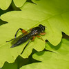 Chalcosyrphus curvaria, Yellow-haltered Forest Fly, Eristalinae,   Syrphidae<br /> 3743, St-Hugues, Quebec, 24 mai 2014
