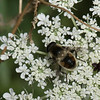 Eristalis anthophorina, Subgenus Eoseristalis, Eristalinae, Syrphidae<br /> 9150, Granby, Quebec, 24 juillet 2016