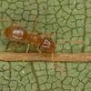 Brachymyrmex depilis, Plagiolepidini, Formicidae, id.Andre Francoeur<br /> MG 9529, Saint-François-de-l'Île-d'Orléans , Quebec,1 juillet 2013