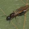 Camponotus novaeboracensis reine, Formicinae<br /> MG 0447, St-Louis-de-France, Quebec,29 aout 2012