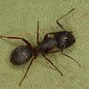 Camponotus herculeanus<br /> MG 1329, Les Escoumins, Quebec, 9 aout 2013