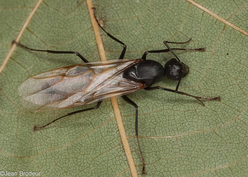 Camponotus novaeboracensis male, Formicinae<br /> MG 8470 , St-Hugues, Quebec, 25 Juillet 2012