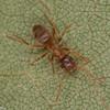 Lasius umbratus, Formicinae<br /> MG 1729, Nouvelle,Gaspesie,Quebec,  25 aout 2013